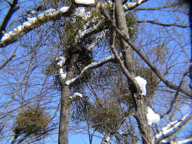 宿木の集団