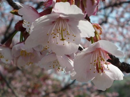 寒桜 (2)