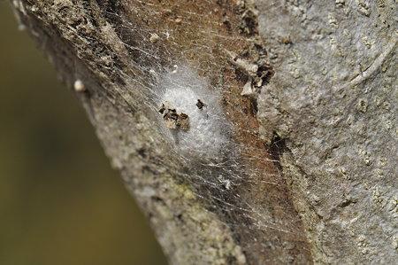 ジョロウグモ科 ジョロウグモの卵のう