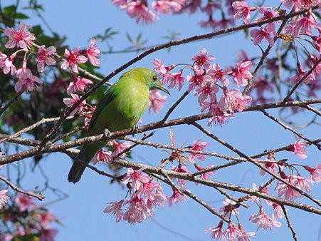 アオバネコノハドリ(Blue-winged Leafbird) P1120954_R