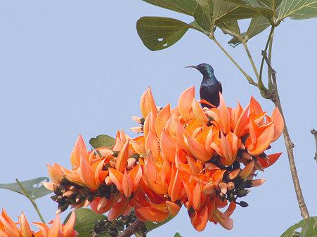 ムラサキタイヨウチョウ(Purple Sunbird) P1140794_R