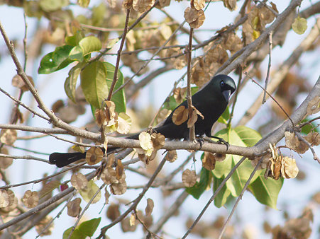 クロラケットオナガ(Racket-tailed Treepie) P1020794_R