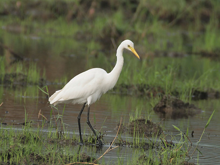 チュウサギ(Intermediate Egret) O1001030_R