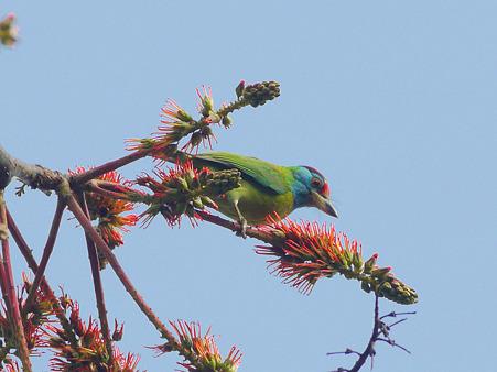 アオノドゴシキドリ(Blue-throated Barbet) P1010560_R