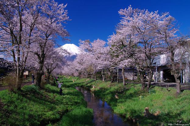 冨士と新名庄川の桜3