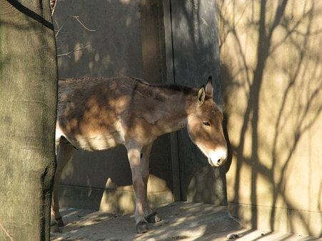 モウコノロバ@よこはま動物園ズーラシア