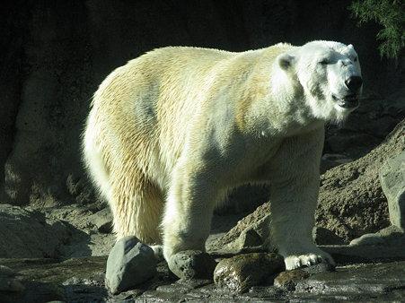 ホッキョクグマ@よこはま動物園ズーラシア