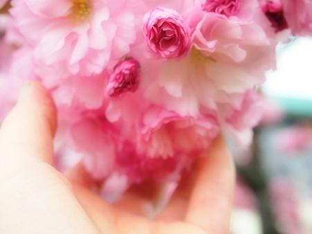 八重桜満開です♪