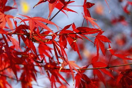 円覚寺の紅葉(4)