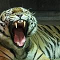 写真: ベンガルトラ  退屈だな~  あくびです!