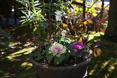 葉牡丹(4) 寄せ植えを作りました。(o^∇^o)ノ