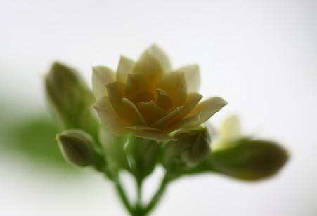 バラのように(2)  八重のカランコエ開化!(*^^)v