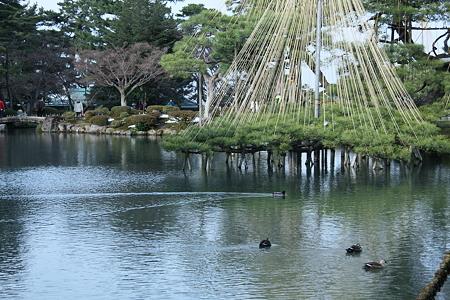 霞が池 雪吊りとカモさん(*^-^)ニコ