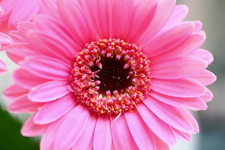 ピンクのガーベラ(1)  微笑んで(*^-^)ニコ
