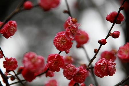 尾山神社の紅梅