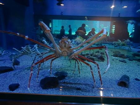 高脚蟹(足)の新人