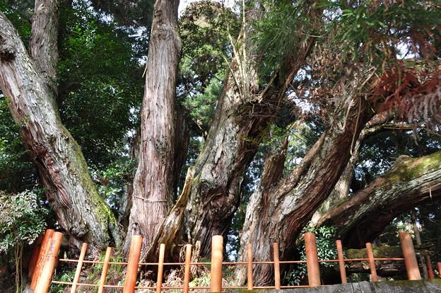 写真: 八ツ房杉