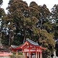写真: 桜実神社と八ツ房杉