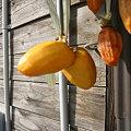 Photos: 2009/11/08 03 干し柿(双子)