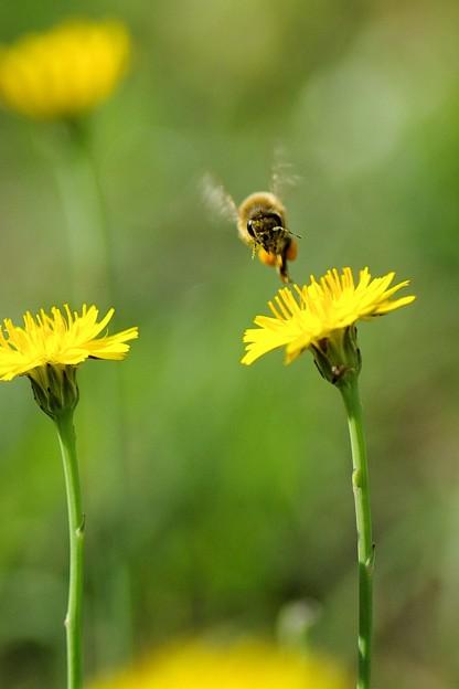 ブタナにハチさん