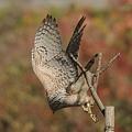 写真: オオタカ(幼鳥)が飛んだっ!