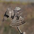 写真: 今にも飛び出すオオタカ(幼鳥)