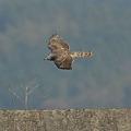 写真: 横切るオオタカ(幼鳥)