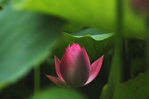 ハスの花です (6)