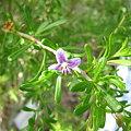 写真: Christmasberry(Lycium carolinianum)