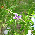 Photos: Christmasberry(Lycium carolinianum)