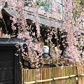 武家屋敷枝垂桜