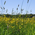 the Field of Buttercups 6-16-09