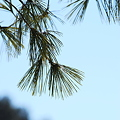 Pine by Kennebec 1-9-10