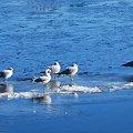 Gulls 1-23-10