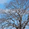 Photos: Apple Tree 1-27-10