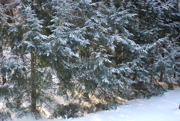 写真: Fir Trees 1-16-11