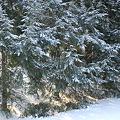 Photos: Fir Trees 1-16-11