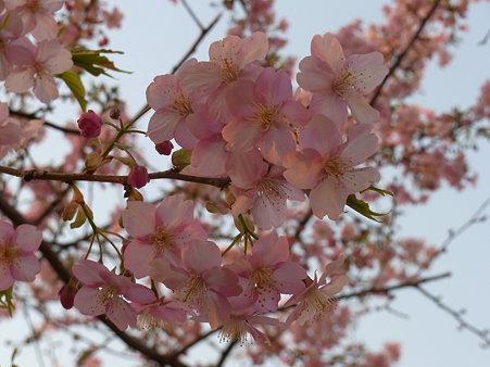 今年2番目の桜@大井町