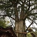 朝護孫子寺 かやの木