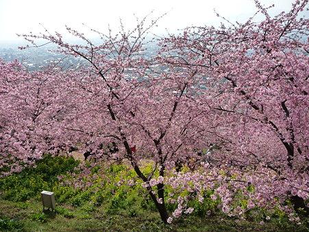 100223-松田山 河津桜 (49)