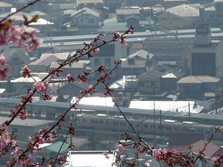 100223-松田山 河津桜 (52)