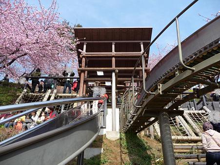 100223-松田山 河津桜 (99)