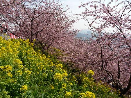 100223-松田山 河津桜 (87)