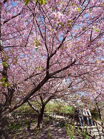 110305-松田山 河津桜 (33)