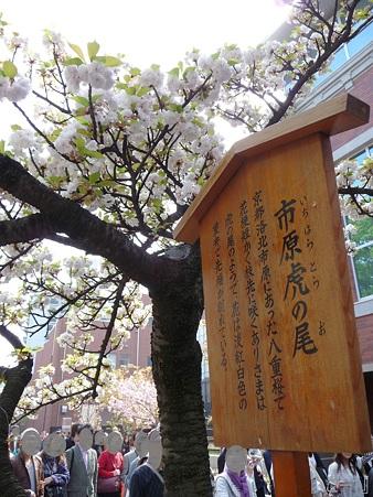 110417-造幣局 桜の通り抜け (91)