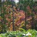 写真: 茶畑の向こうは・・・