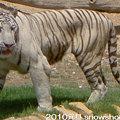 リヤド動物園のトラ
