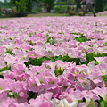 写真: 花絨毯