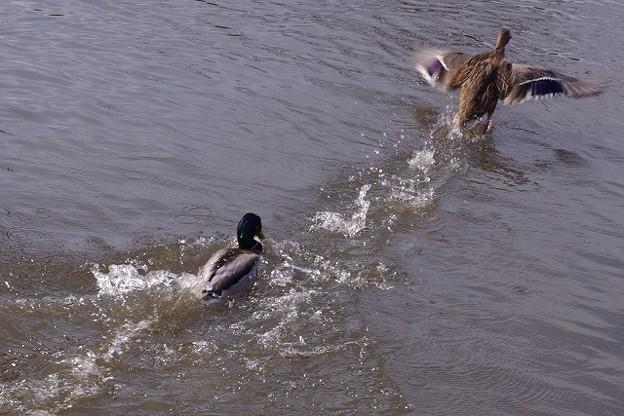 追いかける鴨と逃げる鴨1