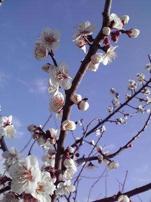 2月の梅と空と